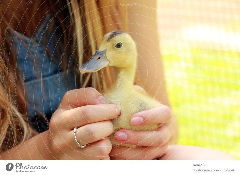 Junge Ente in den Händen eines Mädchens feminin Junge Frau Jugendliche Erwachsene 1 Mensch Tier Haustier Nutztier Wildtier Vogel Tiergesicht Zoo Streichelzoo