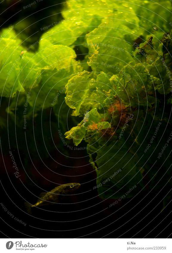 Fischstäbchen mit Spinat Tier Wildtier Aquarium 1 Schwimmen & Baden nass grün Menschenleer Wasserpflanze klein Farbfoto Nahaufnahme Kunstlicht