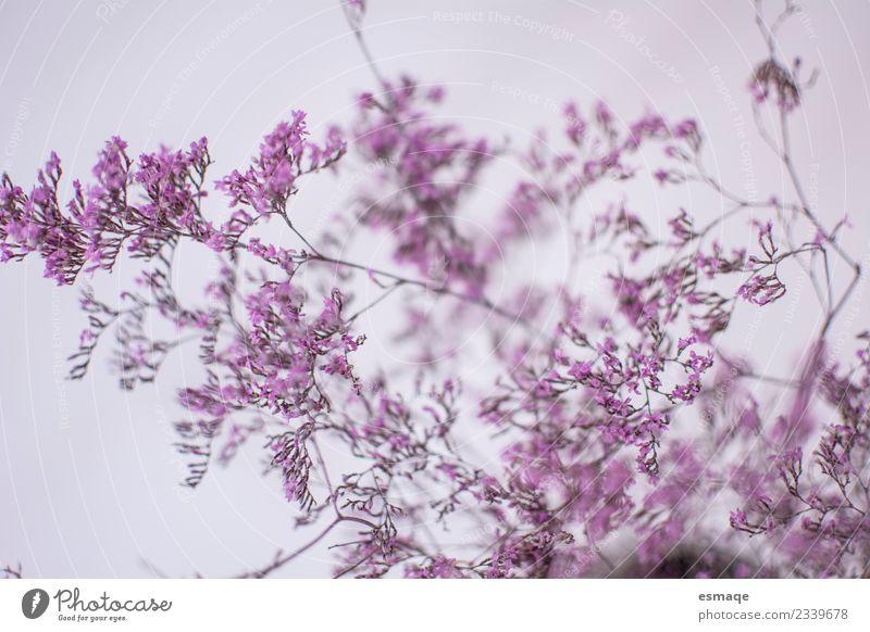Detail der rosa Blumen Natur Pflanze Frühling Sommer Blüte Duft leuchten Liebe authentisch elegant Glück natürlich niedlich Originalität positiv feminin violett