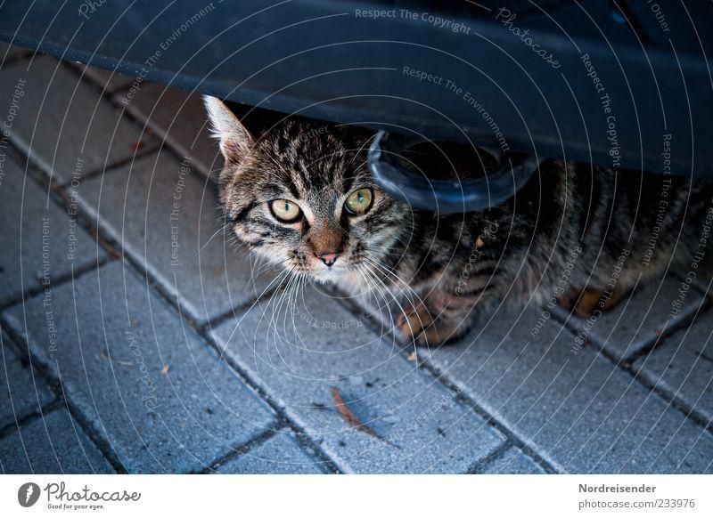 300 | ...ich wars nicht Katze Tier PKW Angst beobachten Neugier unten Wachsamkeit Haustier Vorsicht Verkehrsmittel freilebend Katzenauge Herumtreiben
