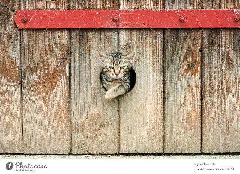 Notausgang Tier Haustier Katze Tiergesicht Pfote 1 Bewegung springen elegant niedlich braun rot Freiheit Loch Scheune Ausgang Metall Holz Streifen Tigerkatze
