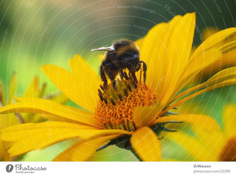 Hummel auf Bluete Blume Blüte Insekt Biene Honig Staubfäden Lebensmittel Nektar