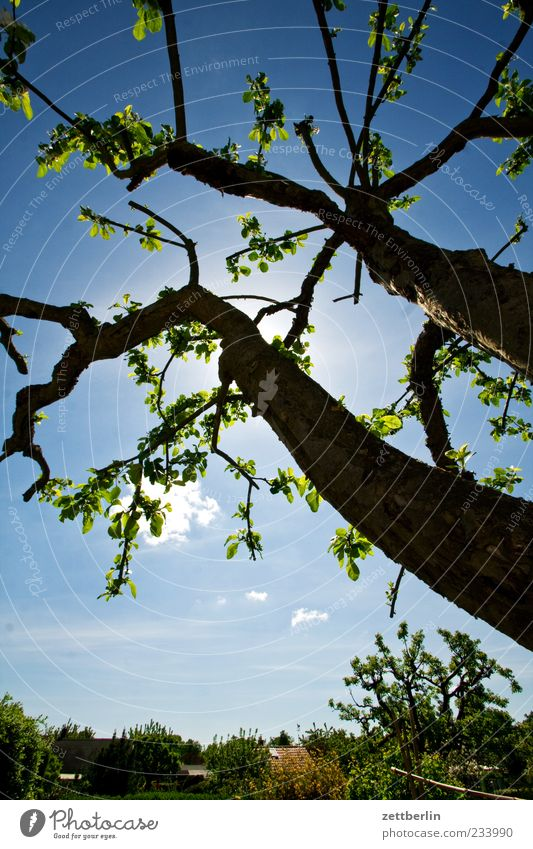 Apfelbaum Himmel Natur Baum Pflanze Sonne Umwelt Gefühle Garten Frühling Schönes Wetter Baumstamm Blauer Himmel Geäst Zweige u. Äste Obstbaum