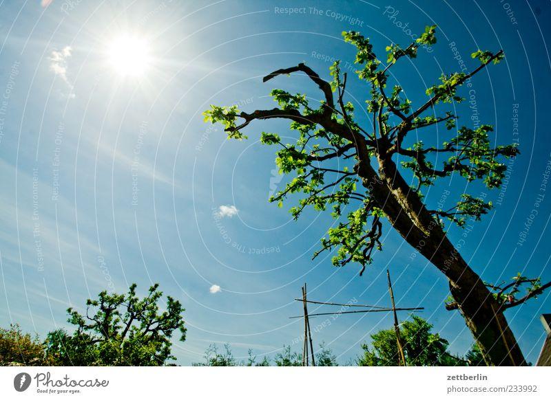 Apfelbaum again Umwelt Natur Pflanze Himmel Wolken Sonne Klima Klimawandel Wetter Schönes Wetter Baum Garten Leben Kleingartenkolonie Schrebergarten Obstbaum