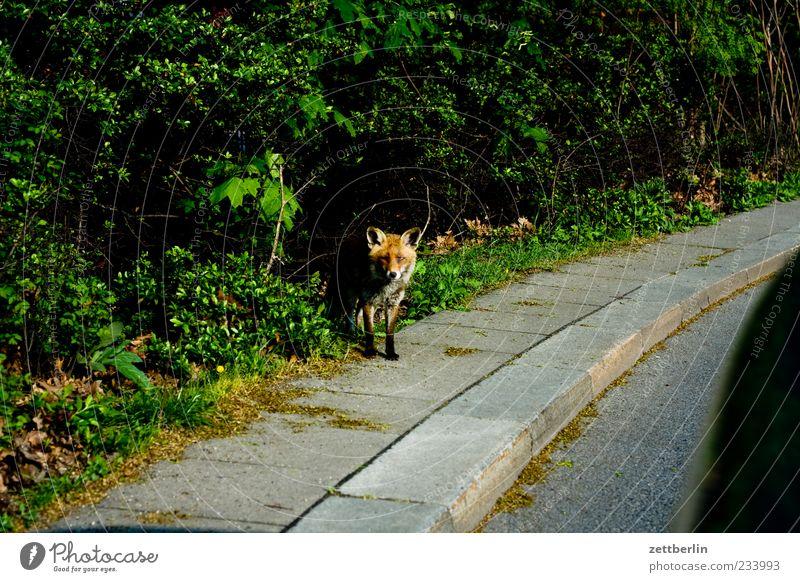 Fuchs Natur Pflanze Straße Umwelt Landschaft gefährlich Sträucher Asphalt Bürgersteig skurril Teer Bordsteinkante begegnen Straßenrand Landraubtier