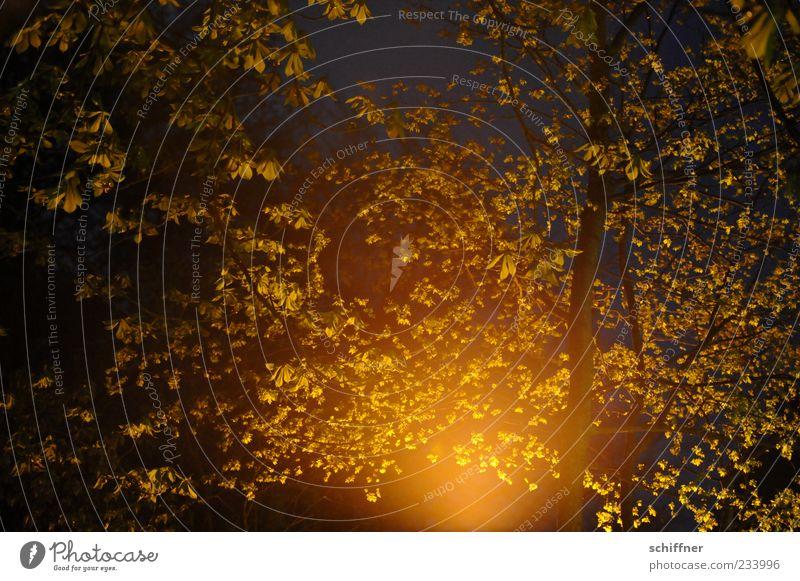 Erleuchtung Natur Baum Pflanze Blatt Wald Beleuchtung leuchten erleuchten Textfreiraum Lichtspiel Erkenntnis Geäst Zweige u. Äste Kastanienbaum Nachtaufnahme