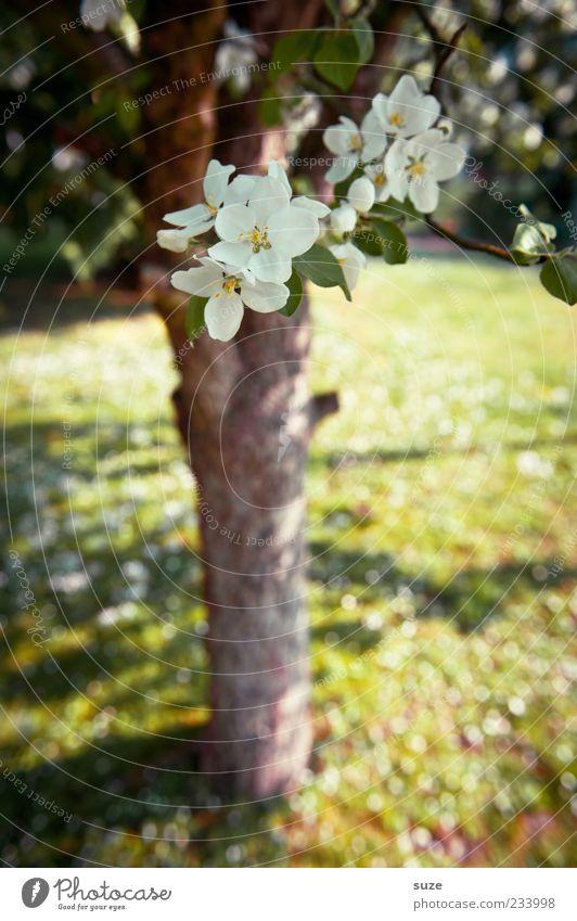 Apfelblüte Natur grün weiß schön Pflanze Baum Blume Blatt Landschaft Umwelt Wiese Gras Frühling Blüte Garten groß