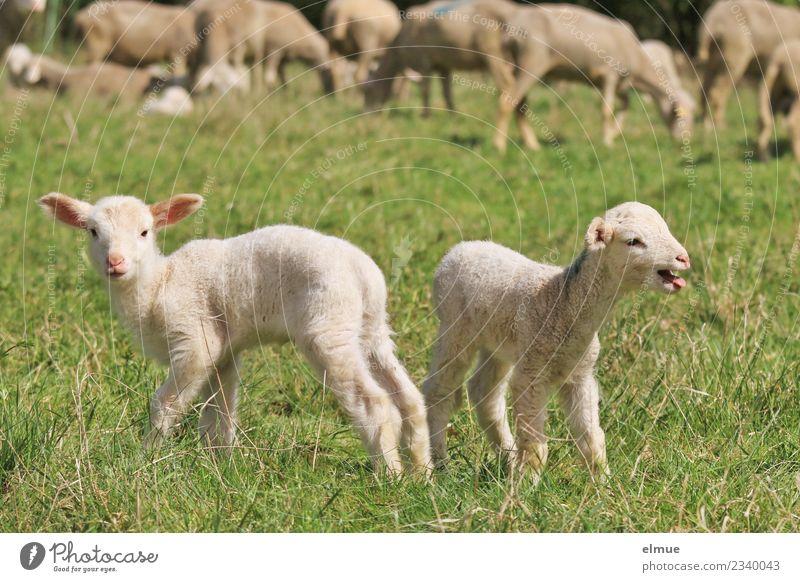 zwei Lämmchen auf der Wiese Nutztier Schaf Lamm Osterlamm Schafherde Zwilling Herde Blick stehen Zusammensein kuschlig klein niedlich Gefühle Glück Lebensfreude