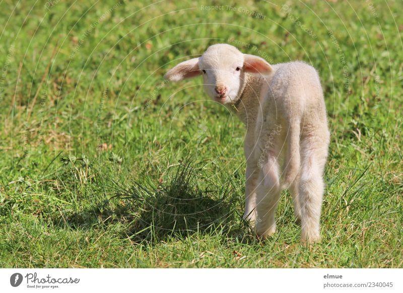 ein Lämmchen auf der Wiese Frühling Nutztier Schaf Lamm Osterlamm Tierjunges Kommunizieren Blick stehen hell schön kuschlig klein niedlich Fröhlichkeit