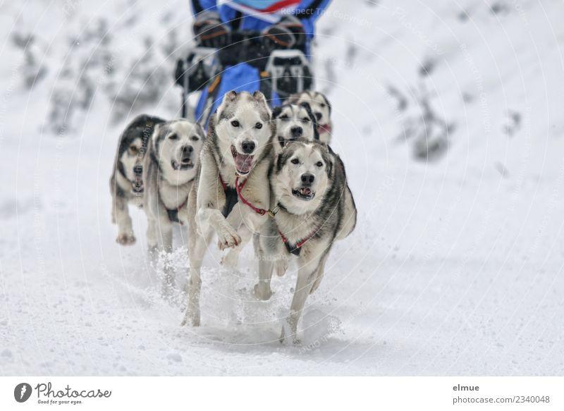 Huskygespann in voller Fahrt Winter Schnee Hund Schlittenhund Schlittenhundrennen Fell Zunge Schnauze sportlich authentisch Zusammensein Lebensfreude