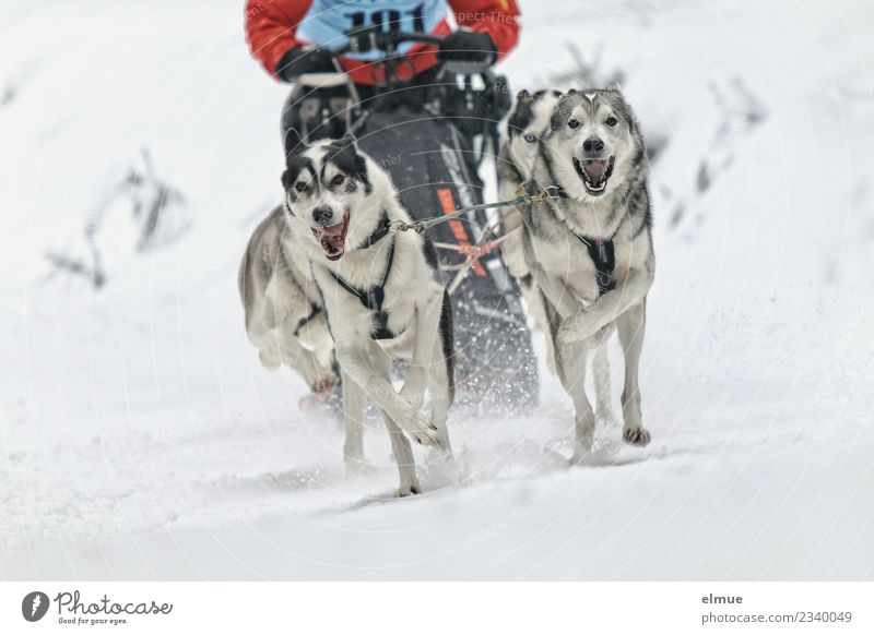*500* Schlittenhundegespann frontal Winter Schnee Hund Husky Schlittenhundrennen 4 Tier Rudel sportlich Zusammensein Geschwindigkeit Freude Lebensfreude Kraft