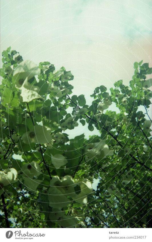 Frühling Himmel Natur weiß grün Baum Pflanze Wolken Umwelt Frühling Schönes Wetter Blätterdach