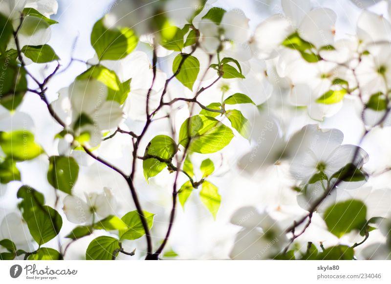 Frühlingszart Natur Pflanze Baum frisch grün weiß Blüte Blütenblatt Blatt Sommer Sonne Licht Sonnenlicht hell Wärme Blattschatten Blattgrün Zweig Detailaufnahme