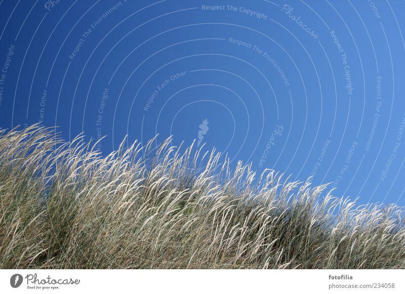 der wind liebt das gras Himmel Natur blau Pflanze Sommer Strand Erholung Umwelt Landschaft Gras Wetter Wind Schönes Wetter Halm wehen Wolkenloser Himmel