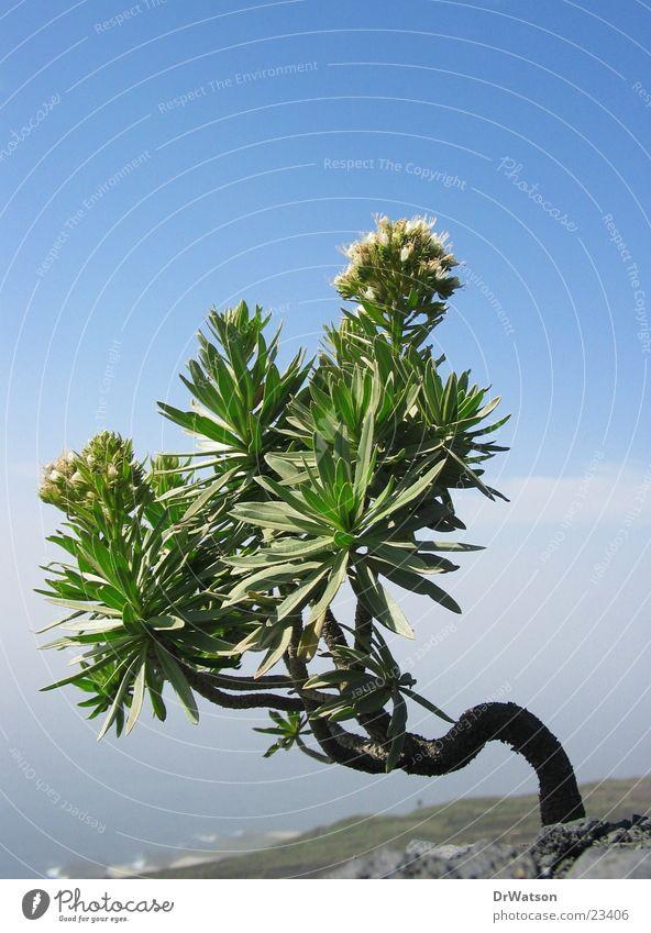 Überlebenskünstler Pflanze krumm Einsamkeit Wind Blühend karg Vulkan