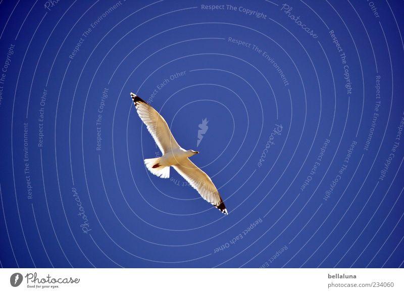 Spiekeroog | Gleitflug Himmel Natur Tier Küste Vogel fliegen Wildtier Flügel Schönes Wetter Möwe Wolkenloser Himmel Blauer Himmel gefiedert Spannweite