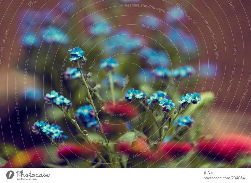 Blumengruß zum Muttertag Umwelt Natur Frühling Vergißmeinnicht Gänseblümchen Garten Blühend Duft Wachstum schön blau rosa Schwarzweißfoto mehrfarbig Nahaufnahme