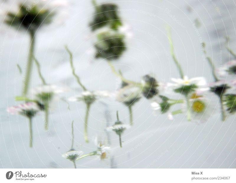Blubb Wasser Blume Blüte Wellen Wellness Badewanne Stengel Im Wasser treiben Gänseblümchen Reflexion & Spiegelung Spa Unterwasseraufnahme Badewasser