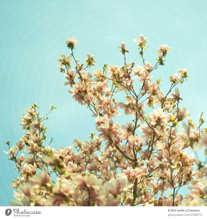 for all the mothers out there Umwelt Natur Pflanze Himmel Wolkenloser Himmel Frühling Schönes Wetter Baum Blatt Blüte Idylle Nostalgie Magnoliengewächse