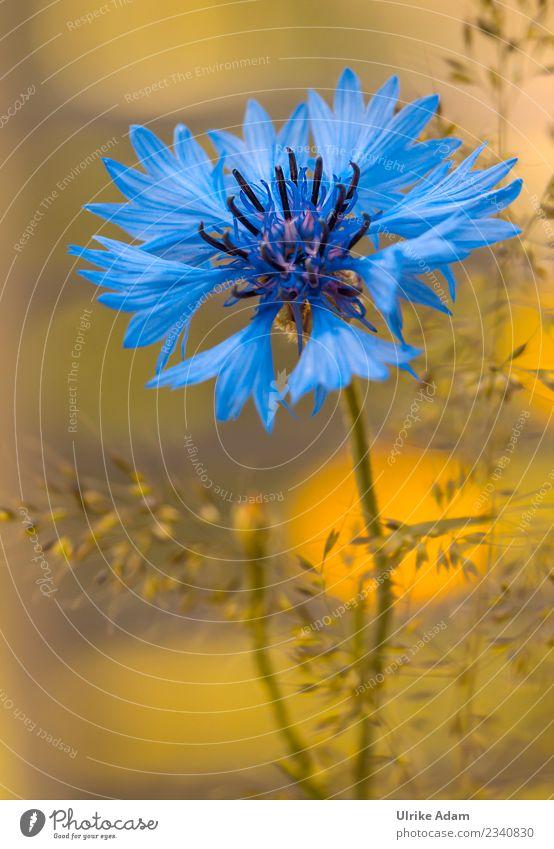 Blaue Kornblume (Cyanus segetum) mit weichem Bokeh Natur Pflanze blau Sommer schön Blume Erholung ruhig Leben Blüte Frühling Gras Garten Zufriedenheit leuchten