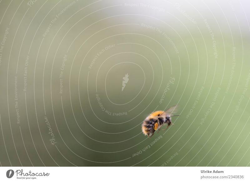 Eine Hummel im Flug Natur Tier Frühling Sommer Herbst Biene Flügel Insekt 1 Arbeit & Erwerbstätigkeit fliegen natürlich Tatkraft Tierliebe gewissenhaft fleißig