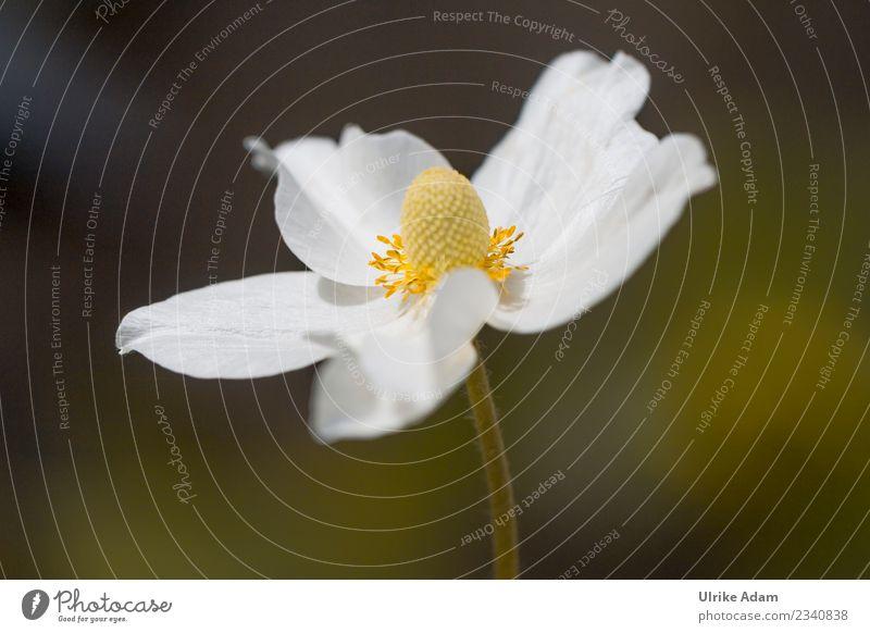 Weiße Blume - Anemone Natur Pflanze Sommer grün weiß ruhig Leben Herbst Blüte Frühling Garten Park Dekoration & Verzierung elegant Geburtstag
