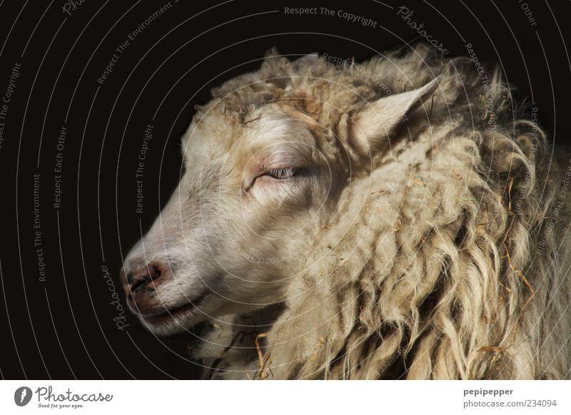 portrait schön Tier Gefühle weich Fell Tiergesicht Schaf Nutztier