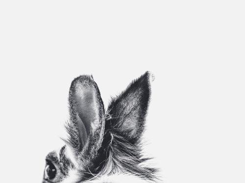 Hasenohren in schwarz weiss Umwelt Natur Tier Haustier Hase & Kaninchen Ohr 1 Fell Bewegung entdecken hören frei Freundlichkeit Fröhlichkeit frisch Gesundheit