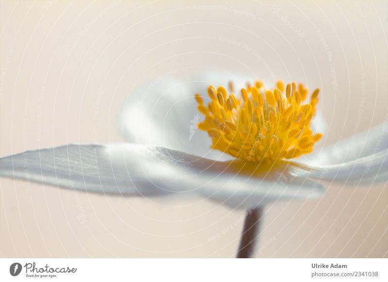 Anemone Design Wellness Leben harmonisch Wohlgefühl Zufriedenheit Erholung ruhig Meditation Spa Tapete Bild Trauerkarte Feste & Feiern Trauerfeier Beerdigung