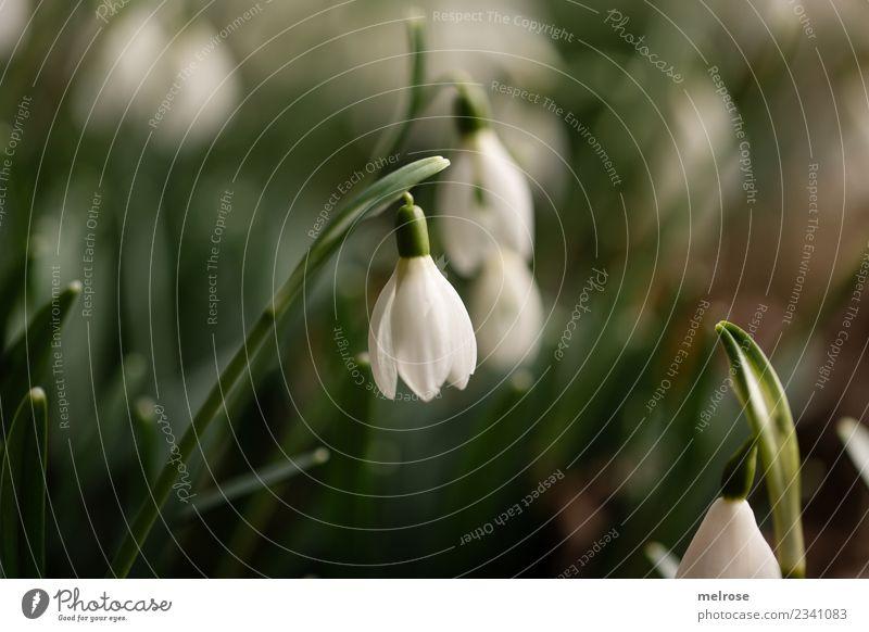 Schneeglöckchen Natur Pflanze grün weiß Blume Erholung Blatt Umwelt Blüte Frühling Gras Garten braun Zusammensein Erde Wachstum