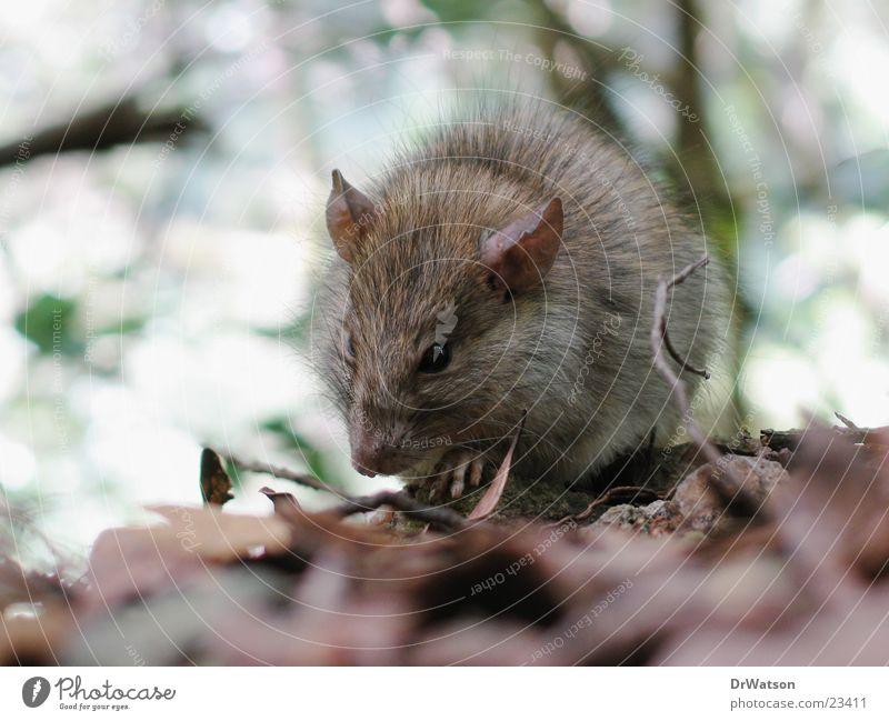 So ne Ratte Tier Blatt Fell Maus Nagetiere