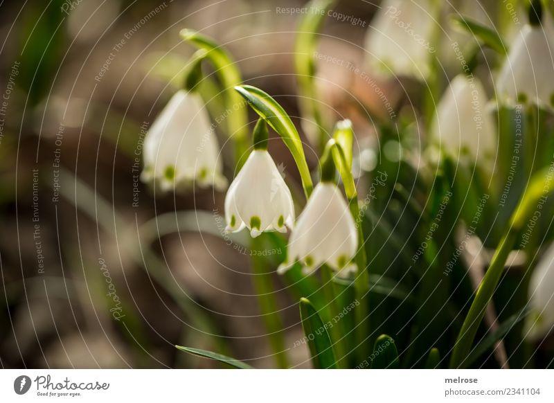 Frühlingsglockenblümschchen Umwelt Natur Erde Sonne Sonnenlicht Schönes Wetter Pflanze Sträucher Blatt Blüte Wildpflanze Frühblüher Lebewesen Blütenkelch
