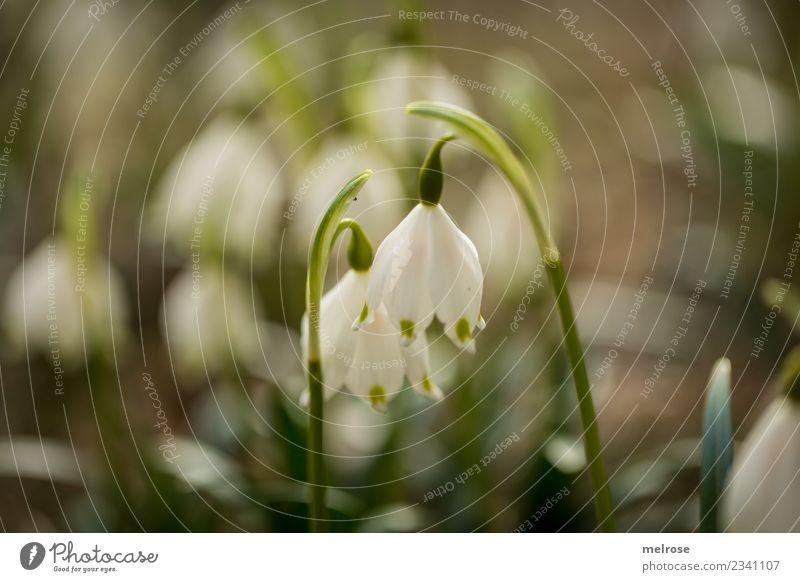 Glockenklang auf selber Wellenlänge Natur Erde Frühling Schönes Wetter Pflanze Blume Blüte Wildpflanze Frühblüher Frühlingsknotenblume Glockenblume