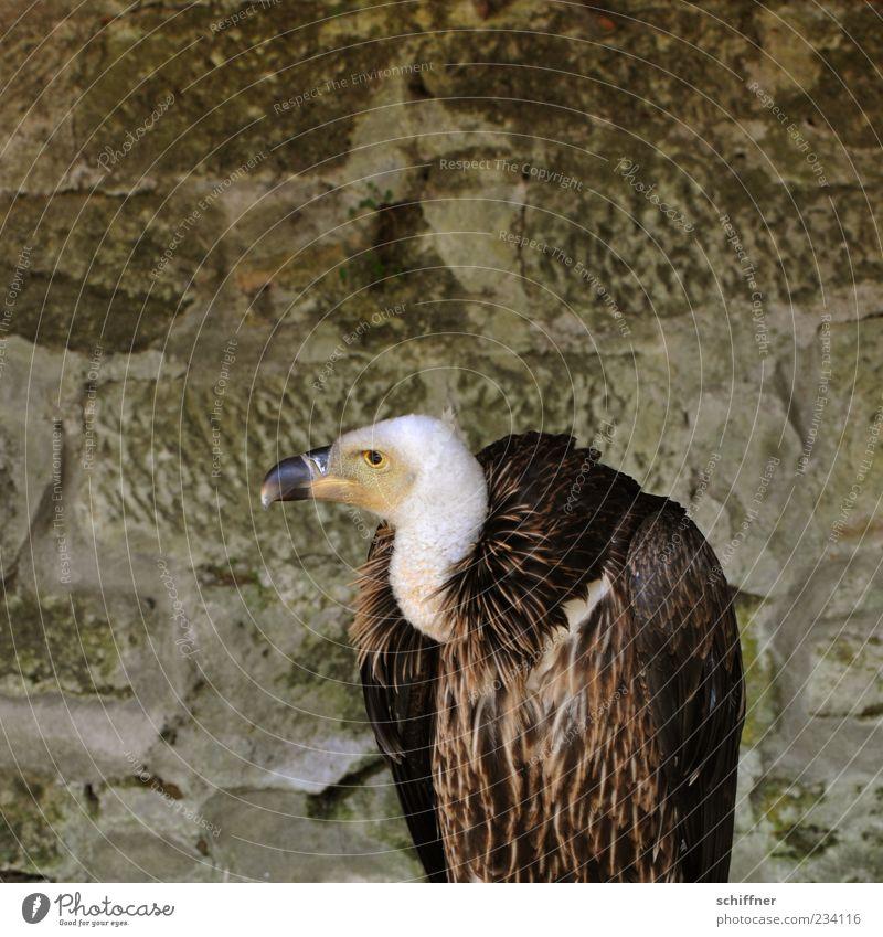 Arm, aber sexy Tier 1 hocken Geier Insolvenz Armut Greifvogel schön hässlich Vogel Schnabel Außenaufnahme Aasfresser Aasgeier Pleitegeier Feder Blick Mauer