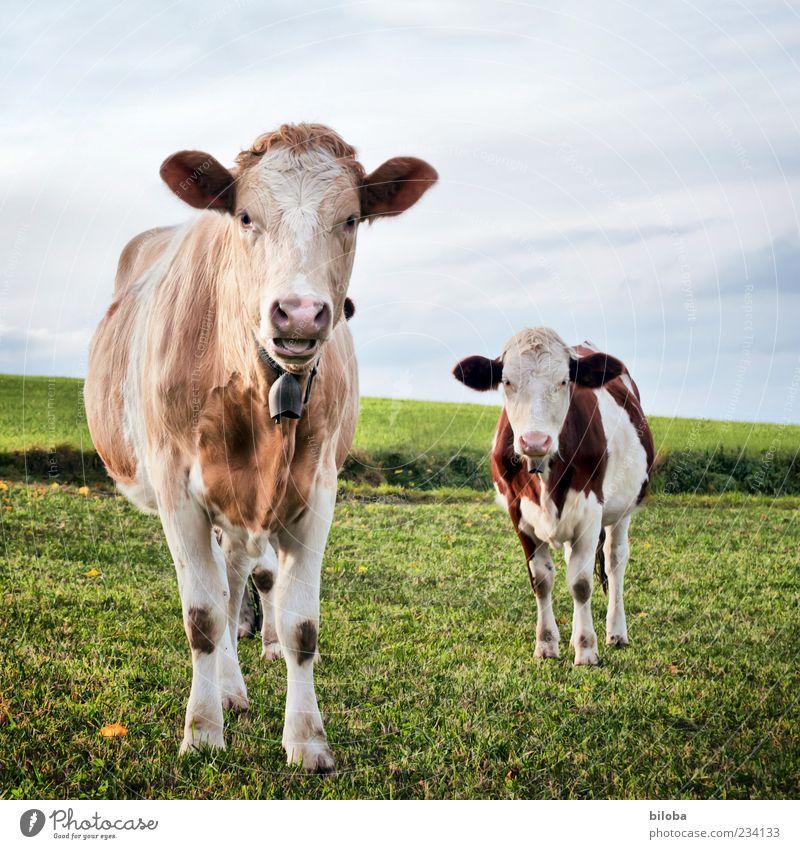 Abgrasen und Maulaffen feilhalten Natur Landschaft Wiese Feld Kuh 2 Tier Fressen füttern Coolness niedlich braun grau grün Kuhglocke Milchwirtschaft Vieh