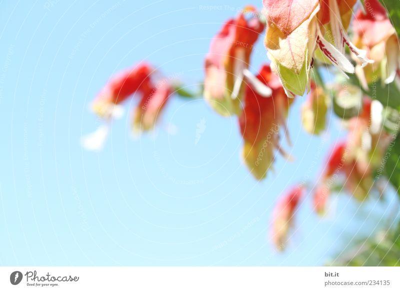 Mainau-Botanik Umwelt Natur Pflanze Luft Wolkenloser Himmel Frühling Sommer Klima Schönes Wetter Sträucher Blatt Blüte exotisch Blühend Duft hängen leuchten