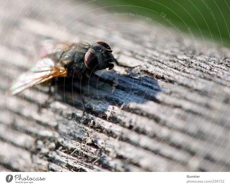 Fliege auf Holz Wildtier Flügel 1 Tier mehrfarbig grau grün schwarz weiß Holzbrett Insekt Auge braun beobachten warten Kopf Tierfuß Farbfoto Außenaufnahme