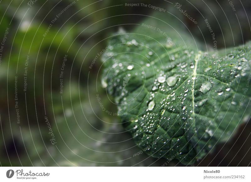 Regentropfen im Feld Natur grün Pflanze Blatt Umwelt nass frisch Wassertropfen Tau Grünpflanze Blattadern Nutzpflanze