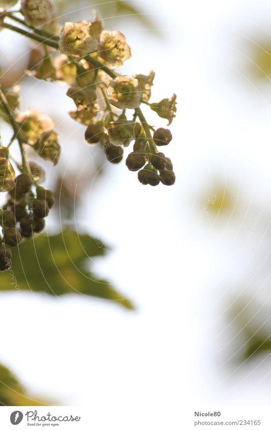 zukünftige Johannisbeeren Natur Pflanze Blatt Umwelt Blüte Frühling frisch neu Wandel & Veränderung zart Blütenknospen Beeren Zweige u. Äste Johannisbeeren Traubenblüte