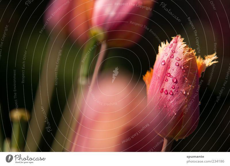 ausgefranst Natur Pflanze Wassertropfen Frühling Schönes Wetter Blume Tulpe Blüte mehrfarbig gelb rosa schwarz Frühlingsgefühle Farbfoto Außenaufnahme Morgen