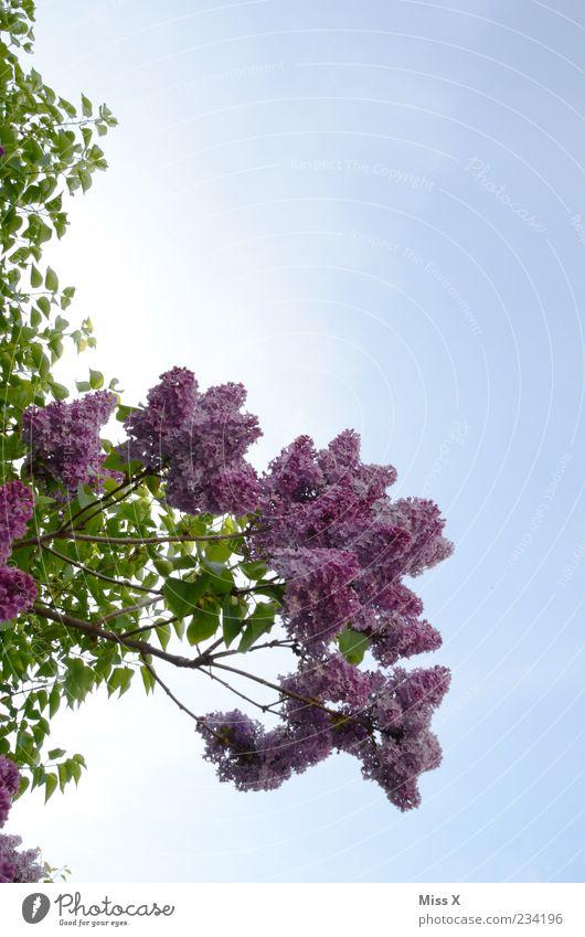Flieder Himmel Natur Baum Pflanze Blatt Frühling Blüte Wachstum Sträucher violett Schönes Wetter Blühend Duft Blütenknospen Wolkenloser Himmel Fliederbusch