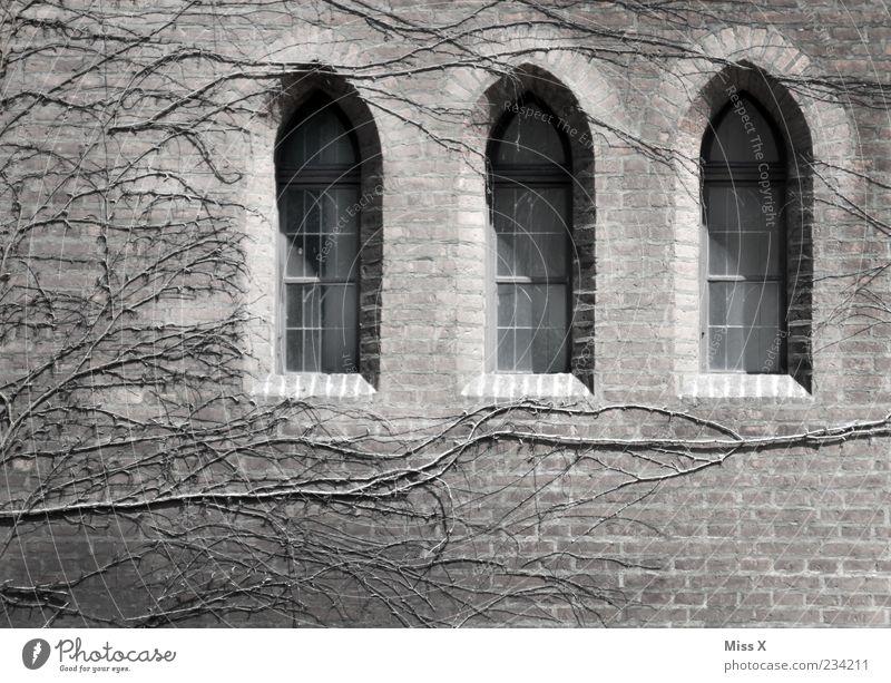 3 Fenster alt Pflanze dunkel Fenster Wand Mauer Gebäude Fassade Kirche Vergänglichkeit Burg oder Schloss Ruine Gotik Efeu Ranke Endzeitstimmung
