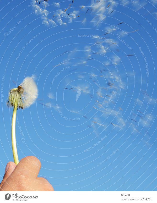 km/h Natur Hand Pflanze Sommer Blume Freiheit Frühling Wind fliegen Beginn Geschwindigkeit festhalten Schönes Wetter Löwenzahn blasen Leichtigkeit