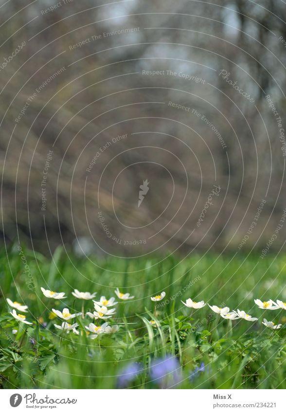 Buschwindröschen Natur weiß Pflanze Blume Wiese klein Frühling Blüte Wachstum Blühend Duft Blumenwiese Hahnenfußgewächse
