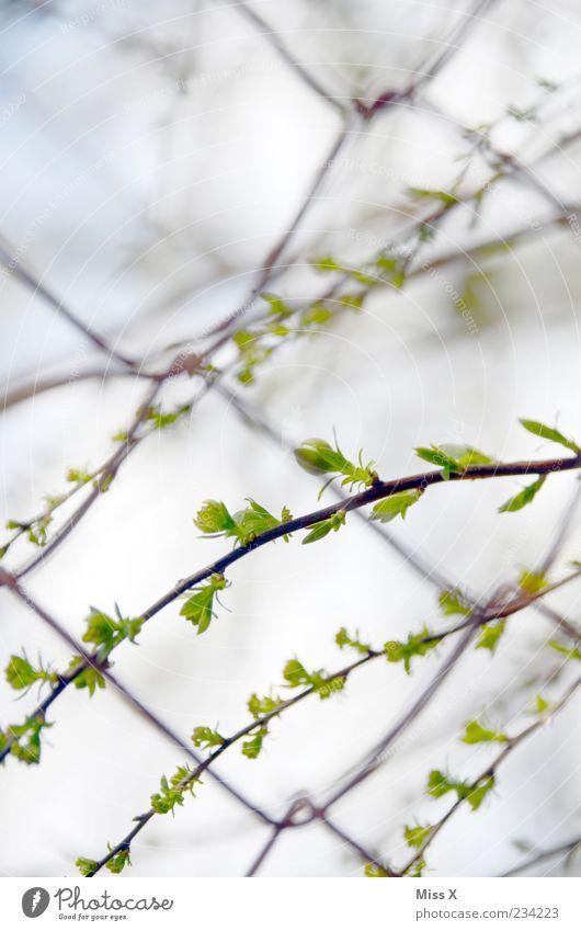 Frische Triebe Natur Pflanze Frühling Baum Sträucher Blatt Wachstum zartes Grün Blattknospe Maschendrahtzaun Zaun Farbfoto Außenaufnahme Nahaufnahme