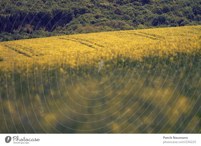 RAPSody Blues Natur Sommer gelb Umwelt Landschaft Frühling Klima Nutzpflanze Rapsfeld