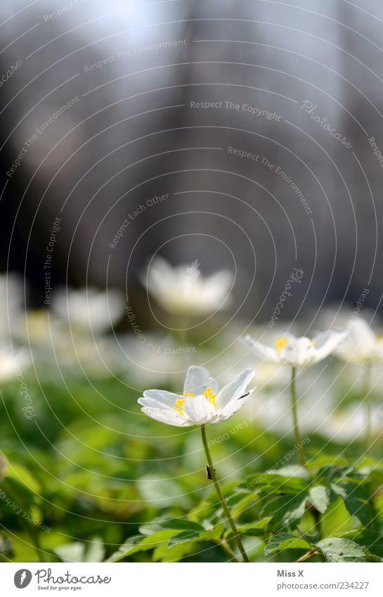 Buschwindröschen mit Fliege Natur Pflanze Blume Umwelt Wiese Frühling Blüte Wachstum Schönes Wetter Blühend Duft Blumenwiese Blütenblatt Frühlingstag Buschwindröschen