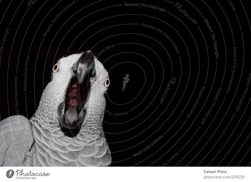 WTF?! Tier sprechen Bewegung grau Vogel außergewöhnlich verrückt Kommunizieren Feder beobachten einzigartig Todesangst Tiergesicht nah Wut Haustier