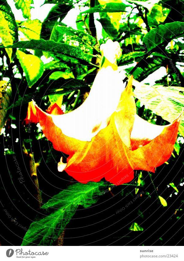 Engelstrompete Baum Blüte Natur orange Detailaufnahme