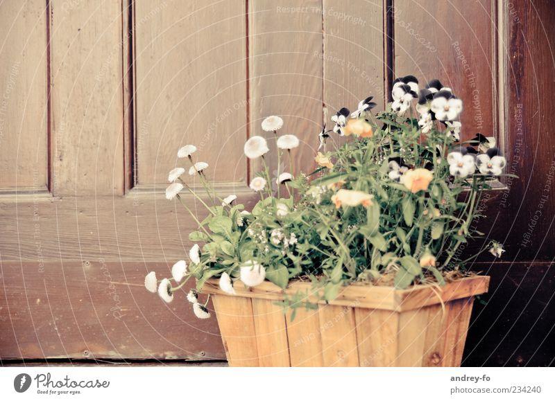 Blumenkorb Pflanze Blüte Topfpflanze Tür Holz Blühend stehen Wachstum Duft braun gelb grün Frühlingsgefühle Stiefmütterchenblüte Korbblütengewächs Blumenkasten